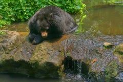 黑色美洲野牛熊谎言头下来在有太阳光的池塘 库存图片