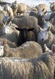 黑色群绵羊 免版税库存图片