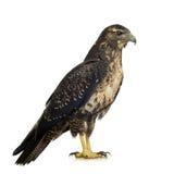 黑色肉食有胸腔的老鹰年轻人 免版税库存照片