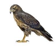 黑色肉食有胸腔的老鹰年轻人 免版税库存图片