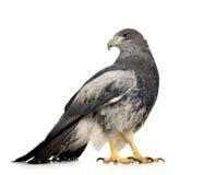 黑色肉食有胸腔的老鹰geranoaetus melanole 免版税图库摄影