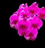 黑色背景的桃红色兰花 免版税图库摄影