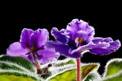 黑色背景的紫罗兰色花 免版税库存照片