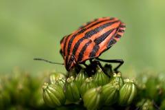 黑色臭虫heteroptera红色 免版税库存照片