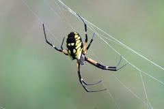 黑色花园蜘蛛黄色 免版税库存图片