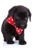 黑色英俊的小狗 免版税库存照片