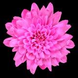 黑色菊花花查出在粉红色 免版税库存图片