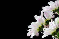 黑色菊花 库存图片
