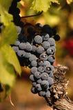 黑色葡萄在工厂中 免版税库存图片