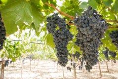 黑色葡萄树 库存照片