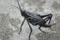 黑色蚂蚱 免版税库存图片