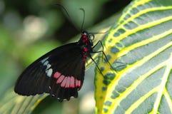 黑色蝴蝶叶子红色白色 库存照片