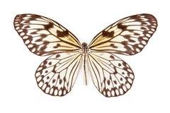 黑色蝴蝶想法查出的leucanoe白色 库存照片