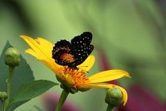 黑色蝴蝶桔子 免版税库存图片