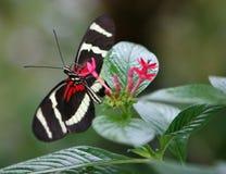 黑色蝴蝶红色 库存图片