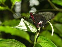 黑色蝴蝶红色 免版税库存图片