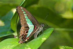 黑色蝴蝶绿色红色 免版税库存照片