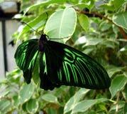 黑色蝴蝶绿色 免版税库存图片