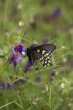 黑色蝴蝶饮用的花紫色 图库摄影