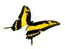 黑色蝴蝶黄色 免版税库存图片