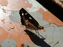 黑色蝴蝶 库存照片