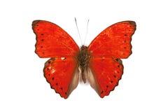黑色蝴蝶cymothoe查出的红色胭脂 免版税库存图片