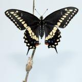 黑色蝴蝶swallowtail 库存照片