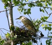 黑色被加冠的苍鹭刚孵出的雏晚上 免版税库存图片