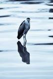黑色被加冠的苍鹭晚上 免版税库存图片