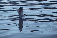 黑色被加冠的苍鹭晚上 库存图片