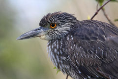 黑色被加冠的苍鹭晚上nycticorax 图库摄影