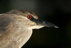 黑色被加冠的苍鹭晚上nycticorax 库存图片