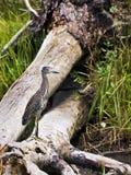 黑色被加冠的苍鹭未成熟的晚上 图库摄影