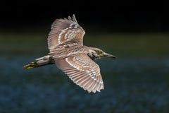 黑色被加冠的飞行苍鹭晚上 库存照片