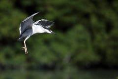 黑色被加冠的飞行苍鹭晚上 免版税图库摄影
