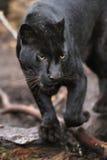 黑色豹子 库存照片