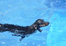 黑色达克斯猎犬游泳 库存照片