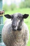 黑色逃脱的绵羊 库存图片