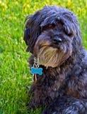 黑色逗人喜爱的狗灰色纵向 库存照片