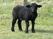黑色逗人喜爱的羊羔 免版税库存图片