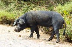 黑色通配cosican猪肉 库存图片