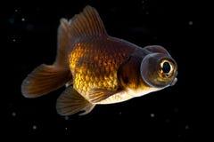 黑色金鱼 免版税库存照片