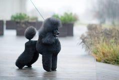 黑色长卷毛狗 图库摄影