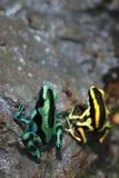 黑色青蛙绿色毒物 免版税库存照片