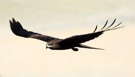 黑色飞行风筝 库存图片