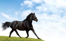 黑色马 免版税库存照片