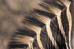 黑色鬃毛白色斑马 免版税库存图片