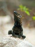 黑色鬣鳞蜥纵向 库存照片