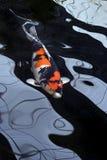 黑色鲤鱼腼腆的红色白色 免版税库存图片