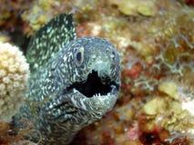 黑色鳗鱼被察觉的白色 免版税库存照片